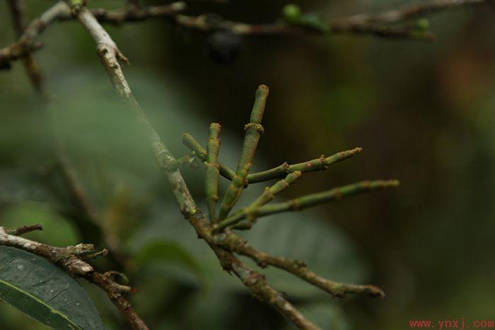 """""""新境普洱茶道·商道研修班""""茶山考察——山中一棵树,手里一杯茶"""